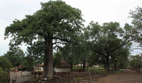 Kruger giants: nine of the 13 oldest and five of the six largest trees died during the 12 years the study was conducted. Photo © Grant Hall