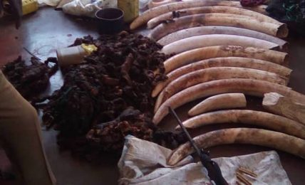 13 elephant tusks, a hunting rifle and dried elephant meat abandoned by Zambian poachers in Zimbabwe's Hwange National Park on August 11 2018