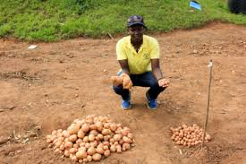 New potato variety could be a game-changer for East African farmers
