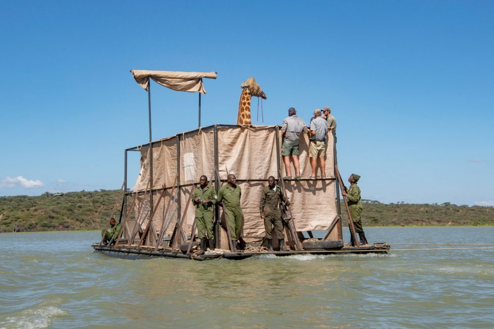 Steel floating barges used to save giraffes from flooding in Kenya