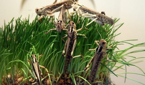 Concern about pesticides used against locust swarms in Horn of Africa