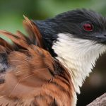 Protecting the endangered and iconic Southern African 'rain bird'