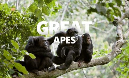 Climate crisis - Africa's great apes could become extinct