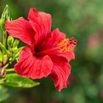 Hibiscus's natural products bring female relief